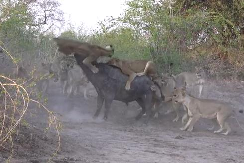 20頭のライオン vs. 1頭のアフリカ水牛