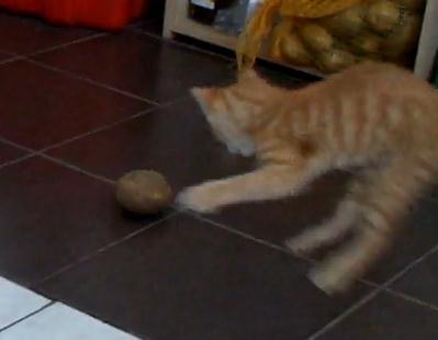 ジャガイモに戦いを挑む猫