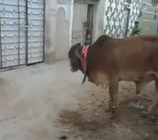 お辞儀をする牛