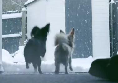 雪遊びをする2匹のチワワ