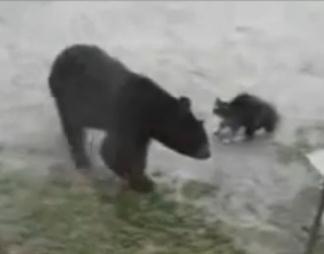 熊を追い払う猫