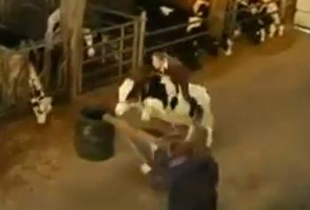 ベルギーの乳牛の意外な能力