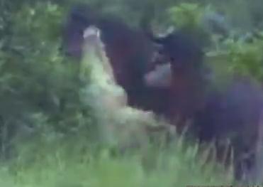ワニ vs. 水牛、水牛が仲間の足を噛まれキレる