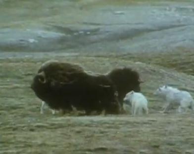 ジャコウウシ vs. オオカミ