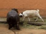カバに頭突するヤギ