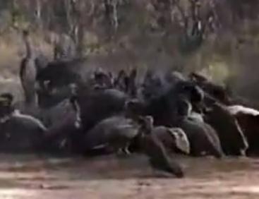 雄ライオンに捕らえられたハゲワシ