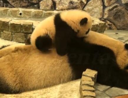 母の背中によじ登るパンダの子供