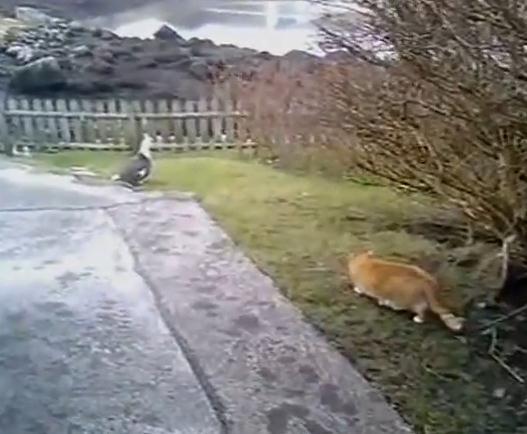 ワシを狩ろうとした猫に思わぬ敵が!