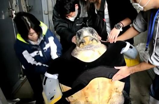 サメの攻撃で前足を失ったウミガメに人工ヒレを装着