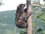 凄い勢いで木の高いところまで登るクマ