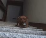 階段移動のプロフェッショナル犬