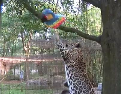 大型ネコ科動物に楽しいおやつ