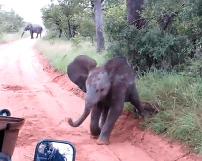 人と車を威嚇する象の赤ちゃん