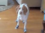 靴を履かされて困ってしまったビーグル