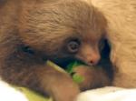 葉っぱを食べるナマケモノの赤ちゃん