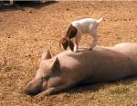 ブタの背中で遊ぶヤギの赤ちゃん