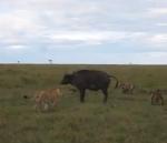 アフリカ水牛 vs. ハイエナ vs. ライオン