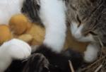 子猫と雛の面倒を見る母ニャンコ