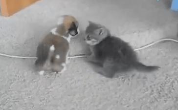 子犬 vs. 子猫 赤ちゃん対決