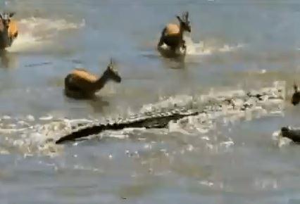 川を渡るガゼルが次々とワニに捕食される動画