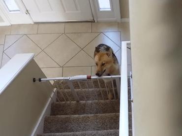 門のロックを外し開けて階段を登る賢いワンコ