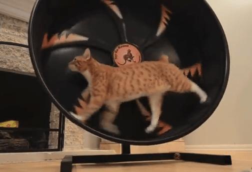 猫ホイールで運動不足解消