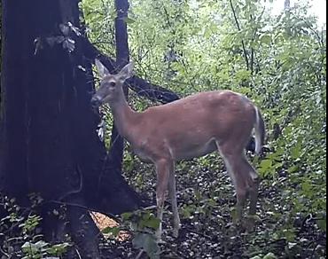 尻尾が持ち上がる程強烈な鹿のオナラ?