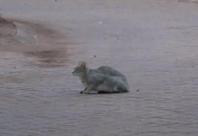 アフリカの野良猫の運動神経