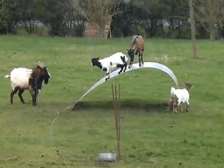 遊具で遊ぶヤギ