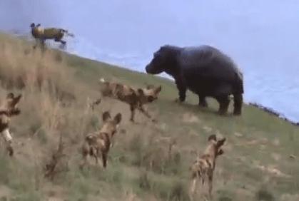 カバ vs. インパラを追うリカオン