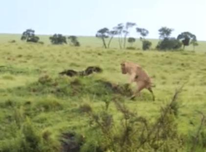 ライオン vs. ワシ