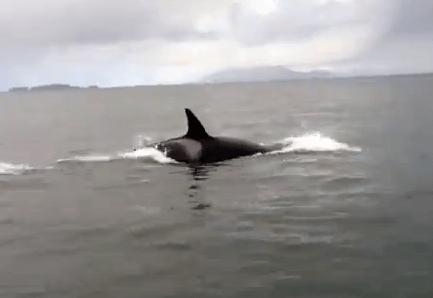 クジラ観察ボートの目の前でシャチがアザラシ狩を始める