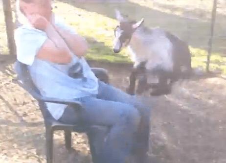 女性の膝をジャンプ台にして遊ぶヤギの子供