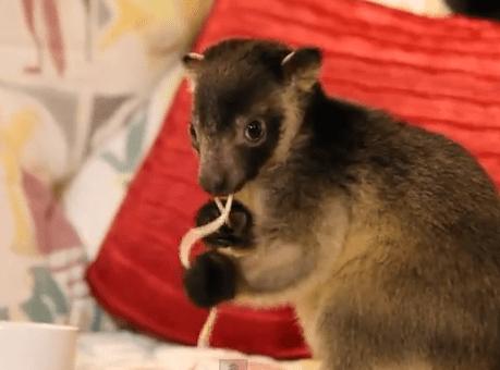 スパゲティを食べるキノボリカンガルー
