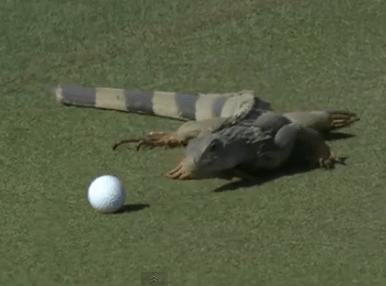 ゴルフの邪魔をするイグアナ