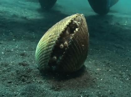 二枚貝の貝殻に潜り込むタコ