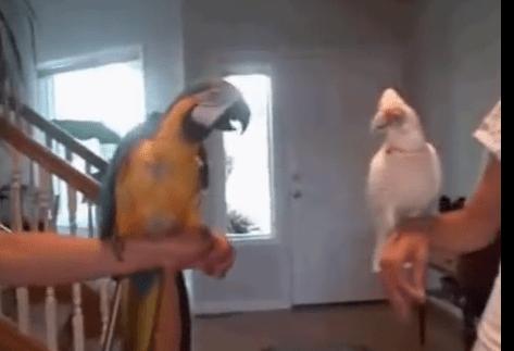 2羽のオウムがノリノリダンス