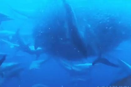 イワシの群れを容赦なく襲うサメの群れ