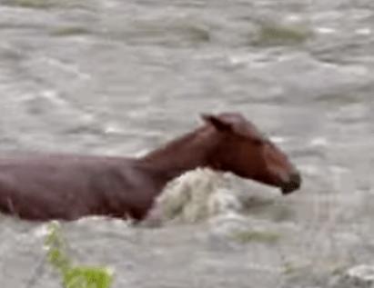 増水した川で動けなくなった馬を2時間の格闘の末に救出
