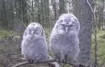 カメラを意識するフクロウの赤ちゃん