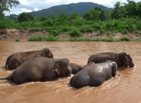 流されないよう大人の象に囲まれて川を渡る子象