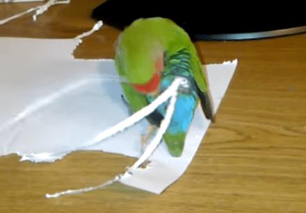 紙を切り取り、しっぽエクステンションを作るインコ
