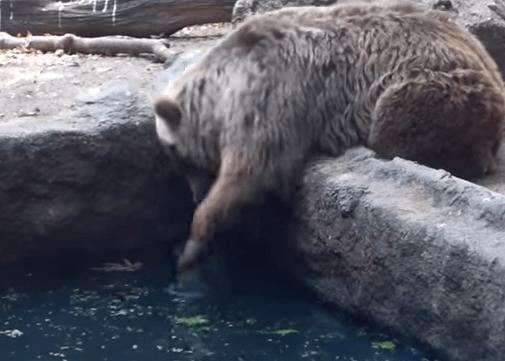 溺れているカラス熊が救助