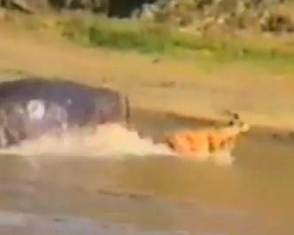 ワニに襲われるインパラをカバがレスキュー