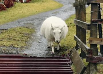 牛の通行防止グリルを渡る賢い羊