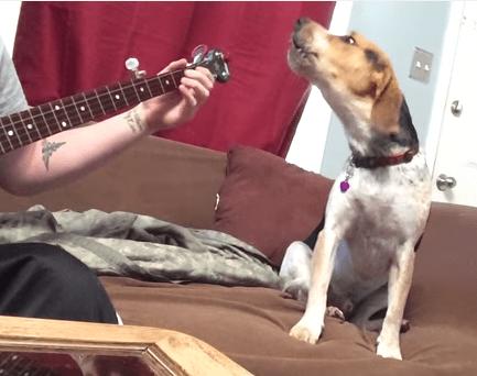 バンジョーの演奏にあわせて歌うビーグル犬