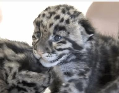かわいいウンピョウ(雲豹)の赤ちゃんの映像