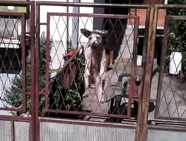 凄まじい垂直跳び能力を持つワンコ