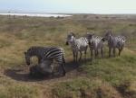 ンゴロンゴロの草原の岩に痒いシマウマの行列ができる
