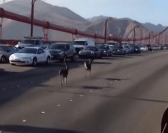 ゴールデンゲートブリッジを疾走する2頭の鹿